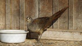 guld- pheasant för kvinnlig Fotografering för Bildbyråer