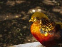 Guld- pheasnt på den Prinknash fågeln och hjortar parkerar Royaltyfria Bilder