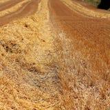 Guld- plöjde texturer för vetefält Arkivbild