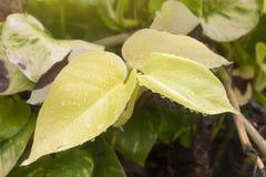 Guld- pothos eller australisk infödd monstera som förnyar efter regn arkivbilder