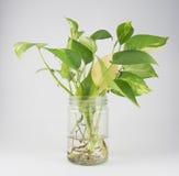 Guld- pothos i glasflaska Fotografering för Bildbyråer