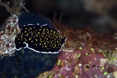 Guld-prucken flatworm i Röda havet. arkivbilder