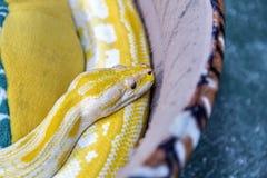 Guld- pytonormorm på soffan Royaltyfri Bild
