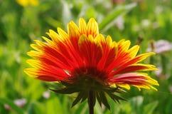 Guld- röd blomma Arkivfoto