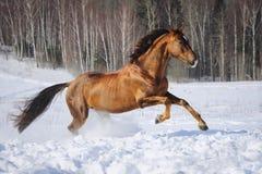 Guld- röda hästkörningar galopperar i vintertid Royaltyfri Foto