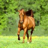 Guld- röda hästkörningar traver i sommartid Royaltyfria Foton