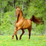 Guld- röda hästkörningar traver i sommartid Royaltyfri Fotografi