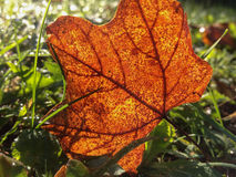 Guld- rödaktig brunt Autumn Leaf In The Grass Royaltyfri Bild