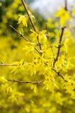 Guld- regnbuske royaltyfria foton