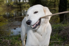 guld- retriever 2 Royaltyfria Bilder