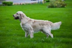 guld- retriever för hund Fotografering för Bildbyråer
