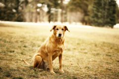guld- retriever för hund Royaltyfria Bilder