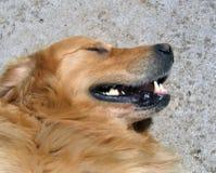 guld- retriever för hund Arkivfoton