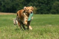 guld- retriever för hund Royaltyfri Bild