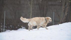 guld- retriever för hund lager videofilmer