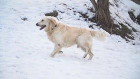 guld- retriever f?r hund arkivfilmer