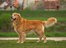 guld- retriever för hund Arkivbild