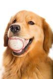 Guld- Retriever med en baseball Arkivfoton