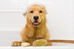 Guld- Retriever som tar ett bad Arkivbild