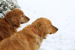 Guld- Retrieverhundkapplöpning i Snow Arkivbilder