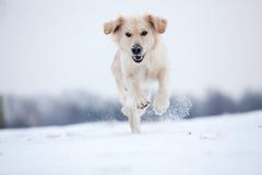 Guld- Retrieverspring i snow Fotografering för Bildbyråer
