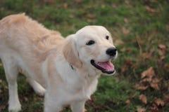 guld- retriver för hund royaltyfria bilder