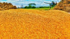 guld- rice royaltyfri bild