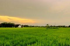 Guld- ricefält Royaltyfria Foton