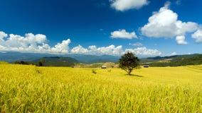 Guld- ricefield med det bluesky royaltyfri bild