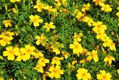 Guld- ringblomma (den Tagetes tenuifoliaen) Arkivbild
