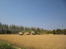 Guld- ris arkivfoton