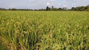 Guld- ris och gräsplanen i Chiang Mai royaltyfri fotografi