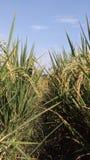 Guld- ris och gräsplanen i Chiang Mai arkivfoton