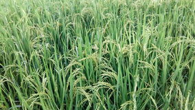 Guld- ris och gräsplanen i Chiang Mai royaltyfria foton