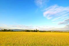 Guld- ris som sparas med blå himmel royaltyfri bild