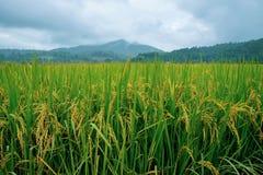 Guld- ris som sparas med mogna ris som är klara för skörd och att bruka Arg Royaltyfria Bilder