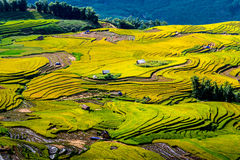 Guld- ris terrasserade fält på plockningtid Arkivfoto