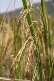 Guld- risfält arkivbilder