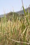 Guld- risfält royaltyfria bilder