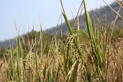 Guld- risfält arkivfoton