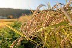 Guld- risfältfält Arkivbilder