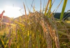 Guld- risfältfält i den Hokuto staden, Japan arkivbilder