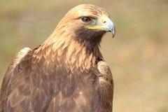 guld- örn Arkivfoto