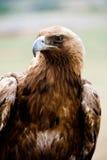 guld- rov för fågelörn royaltyfri bild