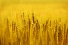 guld- rye för fält fotografering för bildbyråer