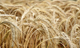 Guld- sädes- fält, korn Arkivbilder