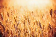 Guld- sädes- fält med öron av vete som är utomhus- royaltyfri foto
