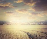 Guld- sädesslagfält på himmelbakgrund, tonat retro arkivfoto