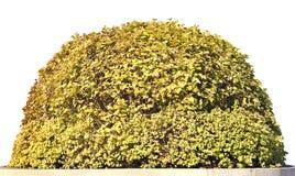 Guld- sfärisk isolerad buske Fotografering för Bildbyråer