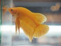 Guld- Siamese stridighetfisk Fotografering för Bildbyråer
